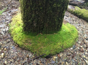 This was a neat ring of moss around the base of a tree.